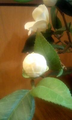 開花直前のつぼみ